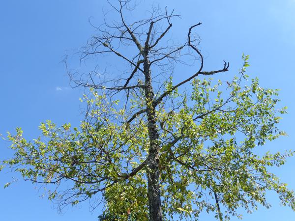 半分枯れたアキニレの木
