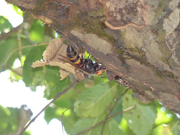 ヒメスズメバチとシロテンハナムグリ