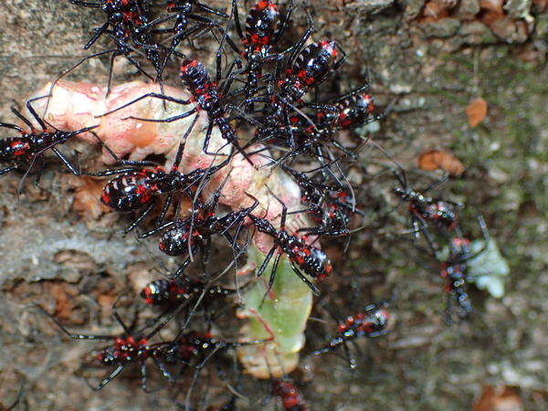 スズメガの幼虫に集まるヨコヅナサシガメの幼虫