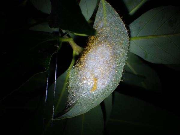 ゲホウグモの卵のう