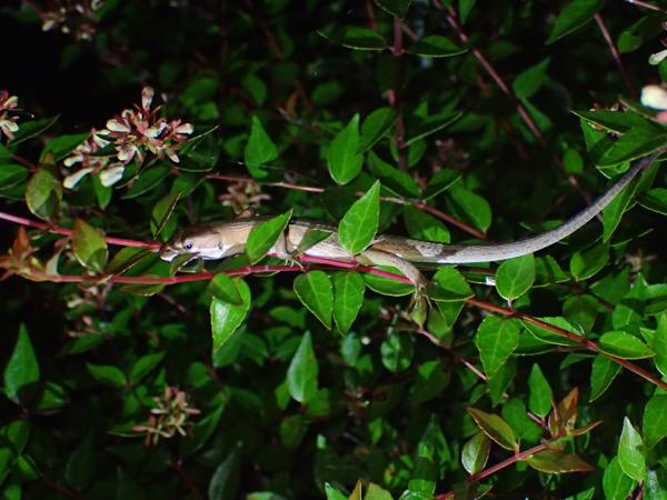 夜眠っているカナヘビ