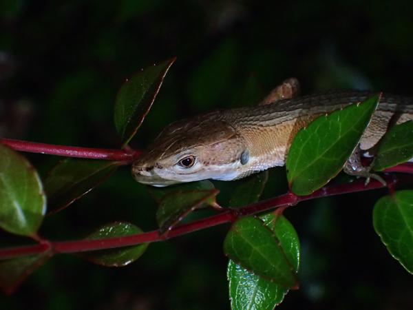 夜中のカナヘビ