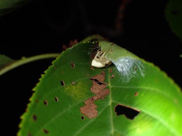 卵のうを守るアズチグモ?