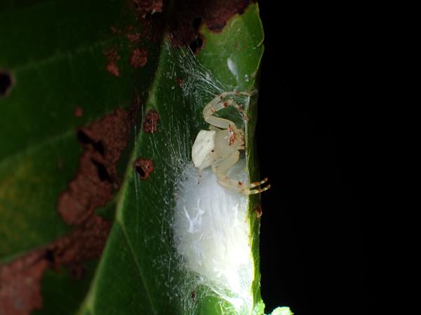 卵のうを守るアズチグモ