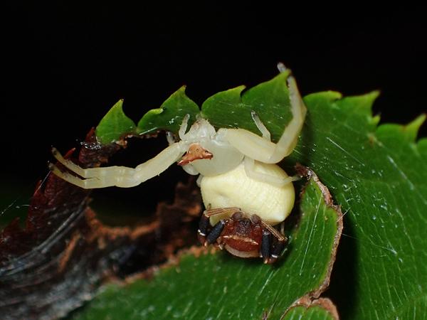 アズチグモのペア