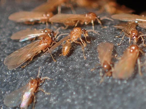 キイロシリアゲアリのオス