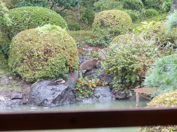 日本庭園に来たイノシシ