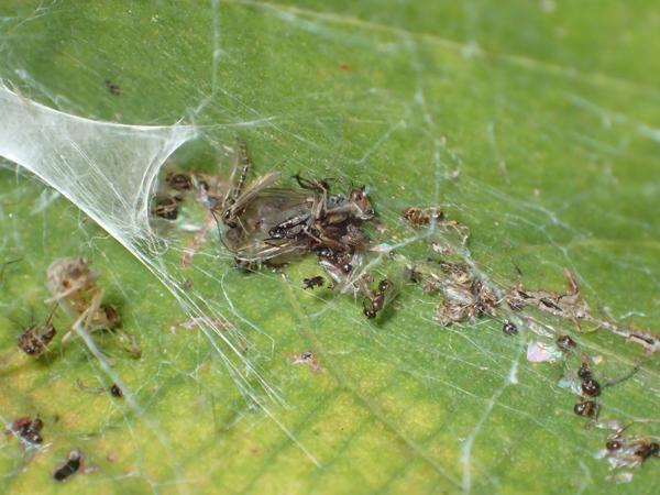 ネコハグモの出した食べかす