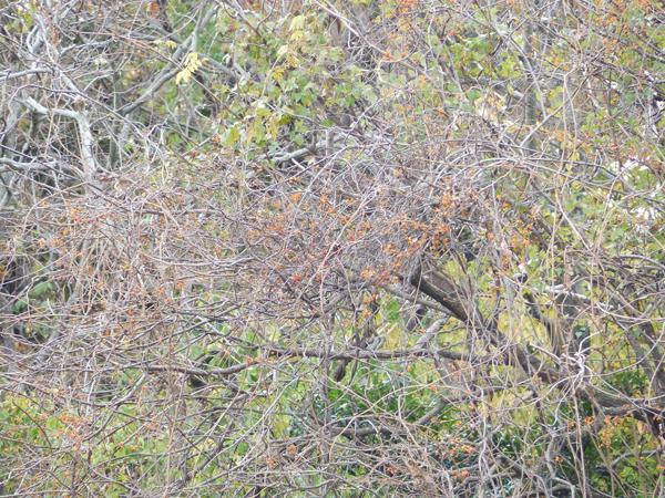 ツルウメモドキの群落