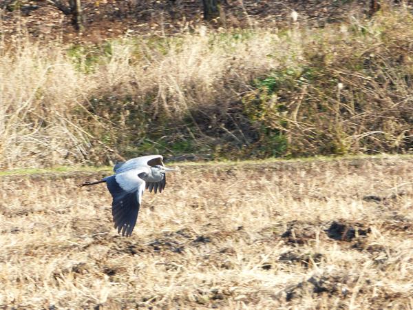 耕地の上を飛ぶアオサギ