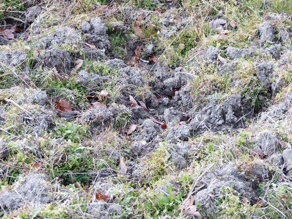 イノシシの堀り跡