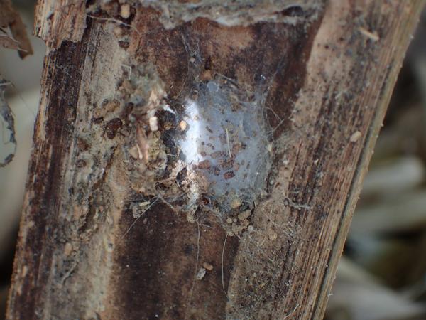 ヒラタグモの網