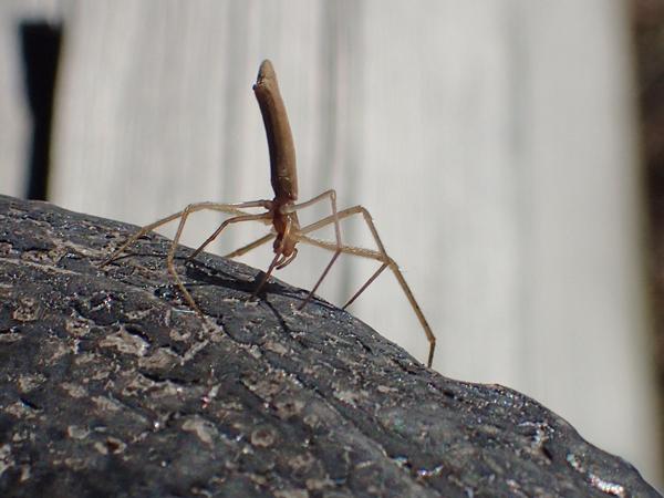 トガリアシナガグモ
