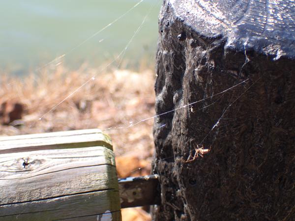 糸にぶら下がるアシガナグモの仲間