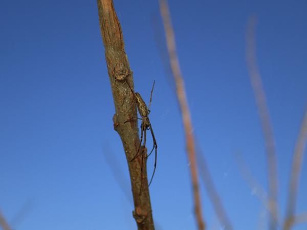 捕食中のアシナガグモ