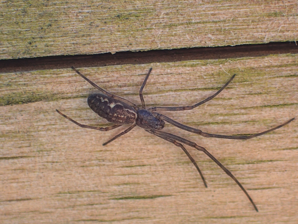 黒っぽいアシナガグモ