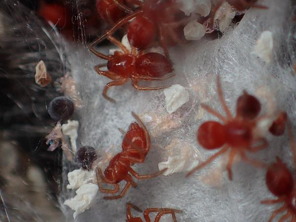 コクサグモの幼体