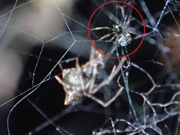 フタオイソウロウグモがいた網