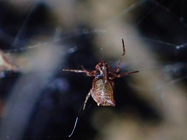 フタオイソウロウグモ幼体