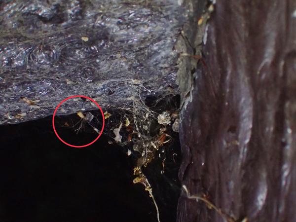 ユウレイグモがいた網