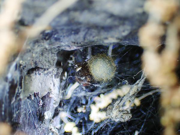 卵のうを守るカレハヒメグモ