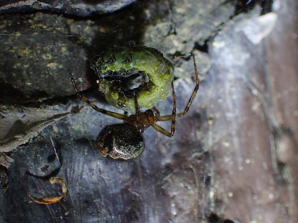 捕食中のカレハヒメグモ