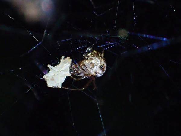 捕食中のヒメグモ科♂