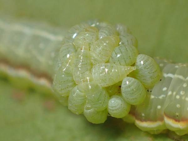 寄生する芋虫