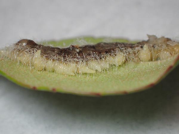 糸を張る芋虫