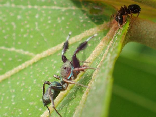 アリを狙うアオオビハエトリ