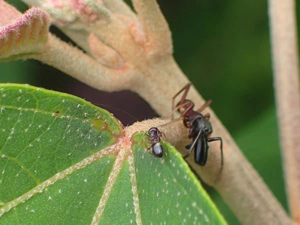 アリを狙うアリグモ