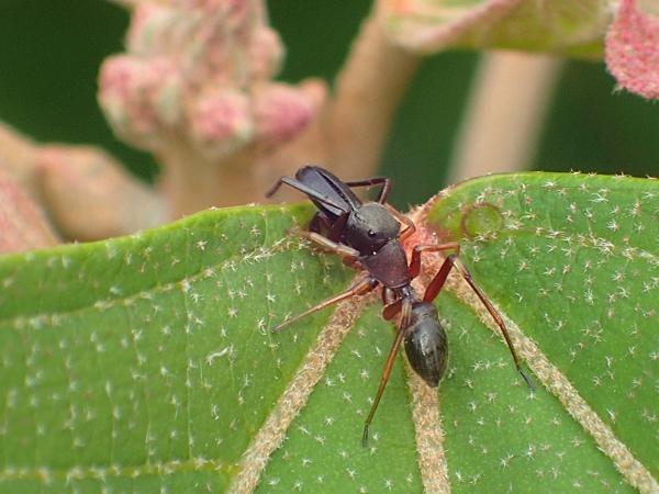 蜜を飲むアリグモ