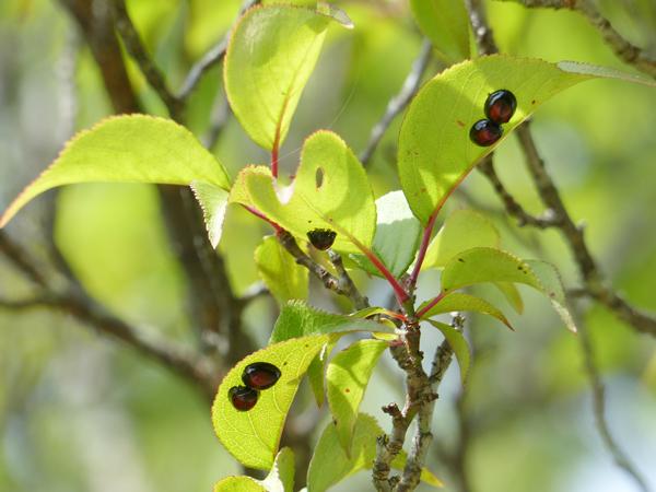 アカホシテントウの成虫