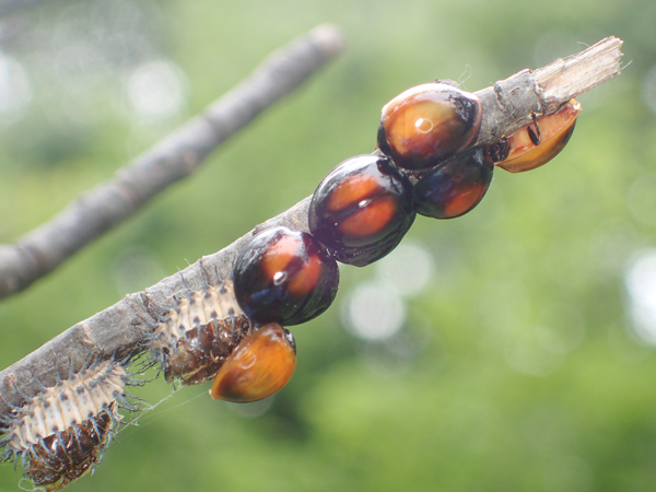 アカホシテントウの羽化