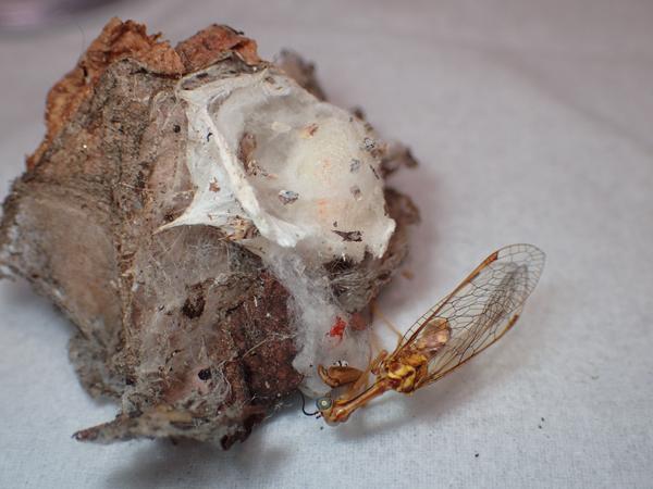 ヒメカマキリモドキの死骸
