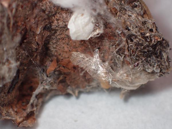 ヒメカマキリモドキの脱皮殻
