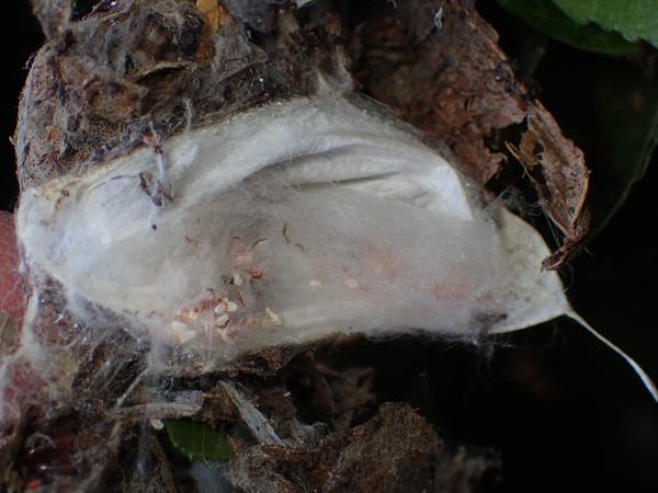 古い卵のうと幼体の脱皮殻