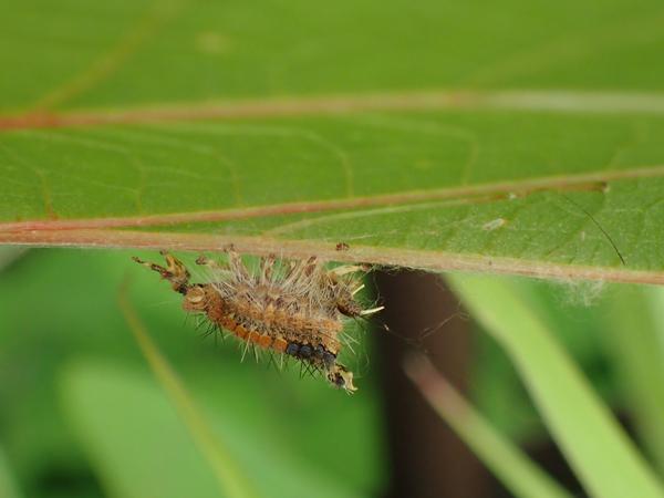 コブガの幼虫