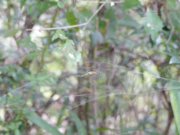 スズミグモ