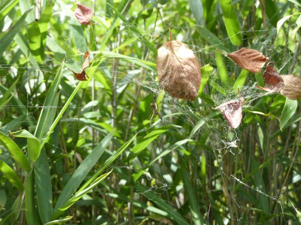 スズミグモの壊れた網