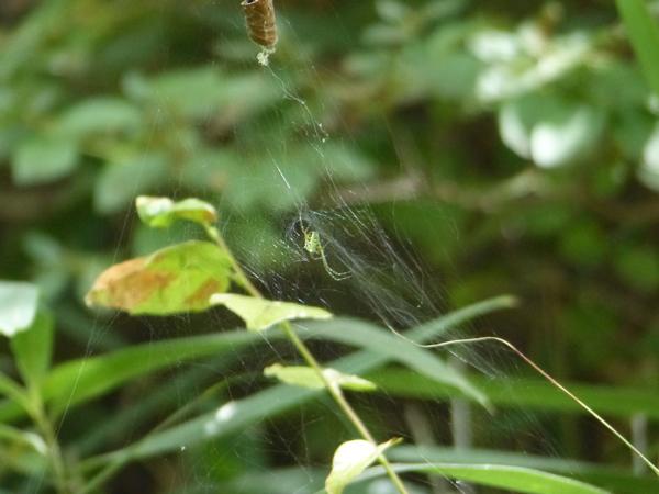 スズミグモ不完全な網