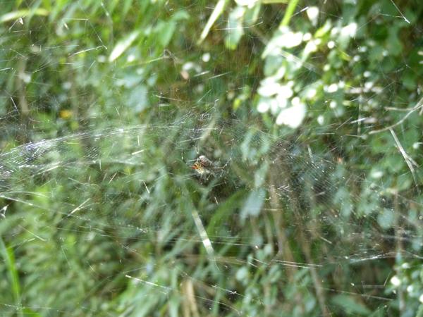 捕食中のスズミグモ