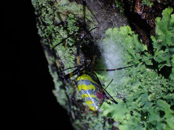 ジョロウグモの産卵準備_2