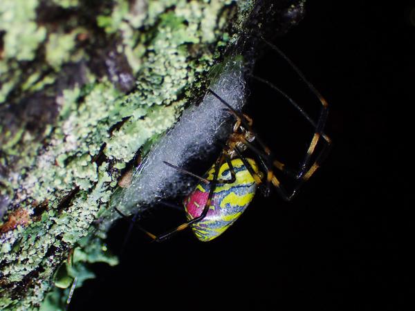 ジョロウグモの産卵準備_3