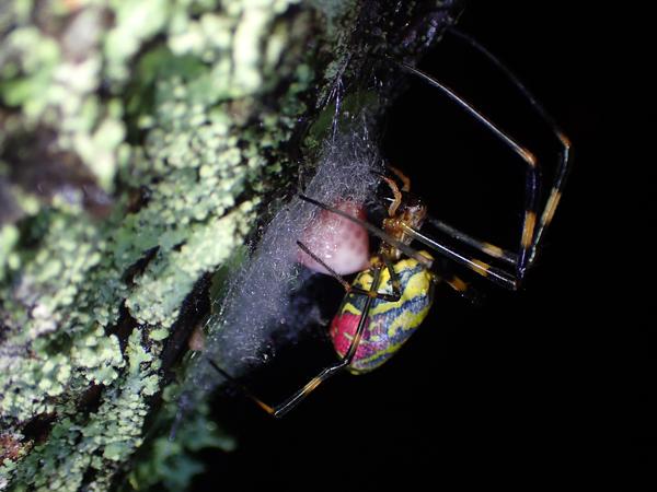 ジョロウグモの産卵_1