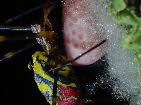 ジョロウグモの産卵_3