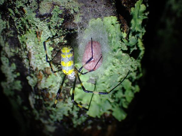 ジョロウグモの産卵_4