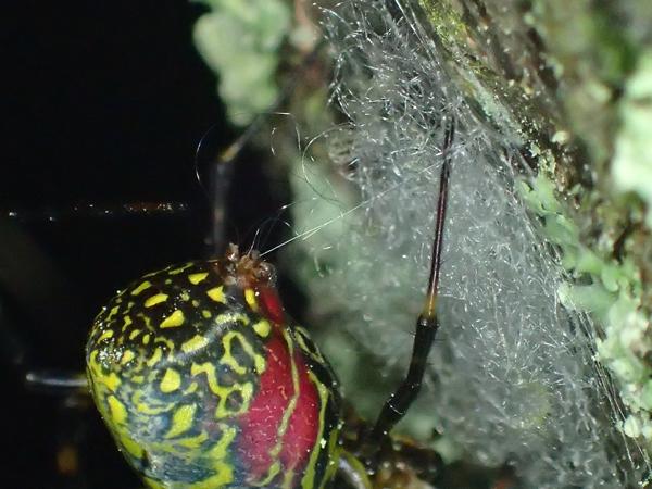 ジョロウグモの産卵準備_別個体