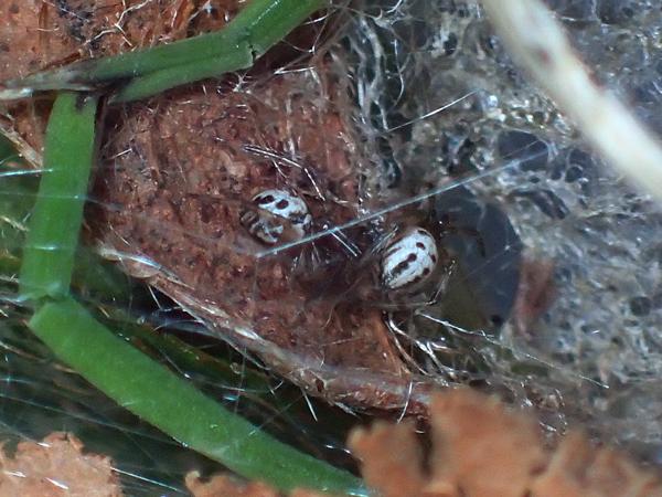 セアカゴケグモ幼体