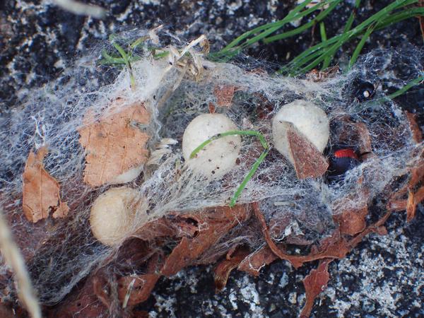 セアカゴケグモ卵のうと親